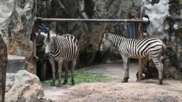 Zebrák ló vagy Equus quagga: Dusit Zoo vagy Khao Din Wana park, Bangkok, Thaiföld Thai emberek és a külföldi utazók látogatása és utazási keres