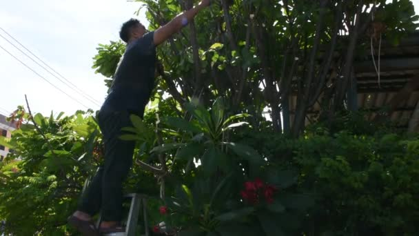 Thai men people gardening and cutting pruning branch Plumeria tree in garden at front of home in countryside at Nonthaburi, Thailand