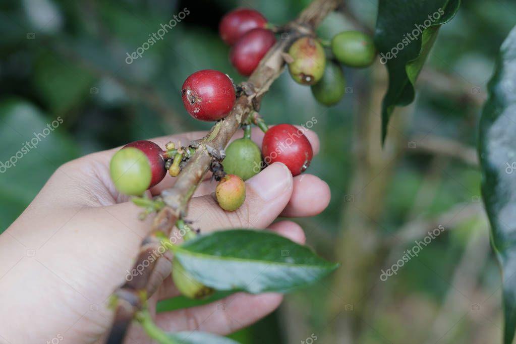 Coffee berries bean on coffee tree with hand.