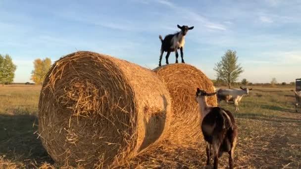 Auf dem Hof grasen Ziegen. Die Neugier der Haustiere. Hochwertiges 4k Filmmaterial.