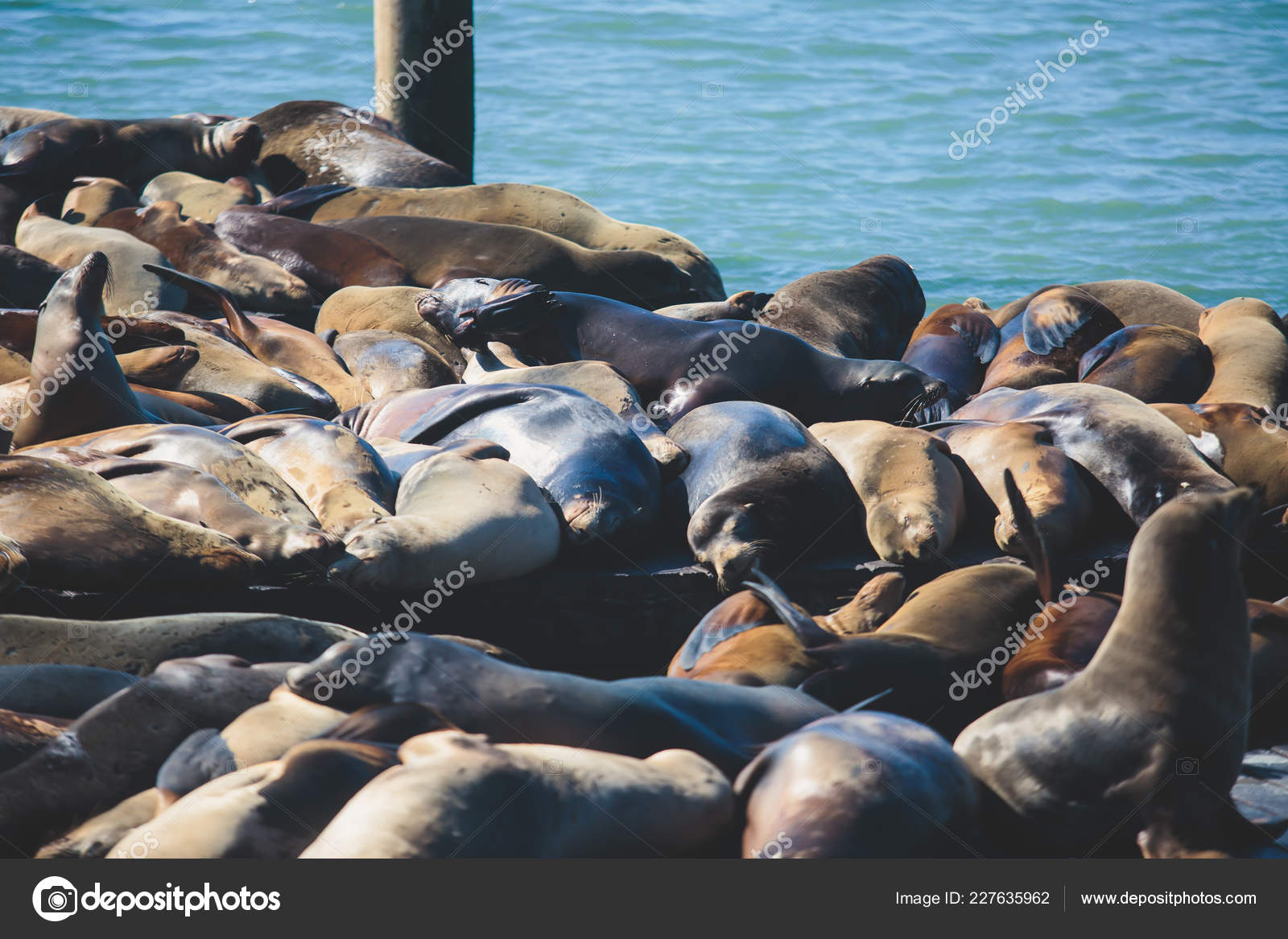View Pier Seals Sea Lions Wooden Platforms Fisherman Wharf San Stock Photo C Tsuguliev 227635962