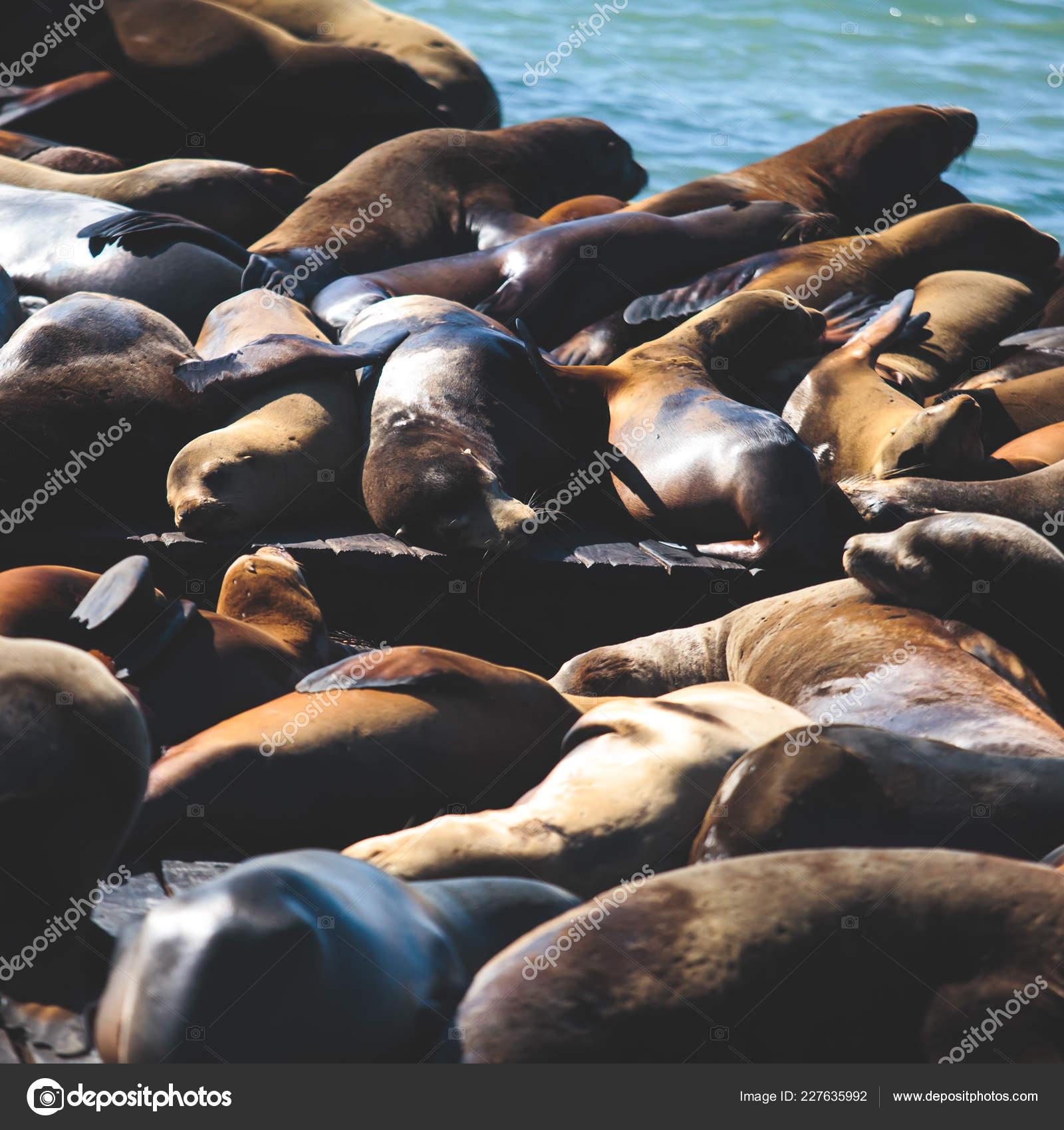 View Pier Seals Sea Lions Wooden Platforms Fisherman Wharf San Stock Photo C Tsuguliev 227635992