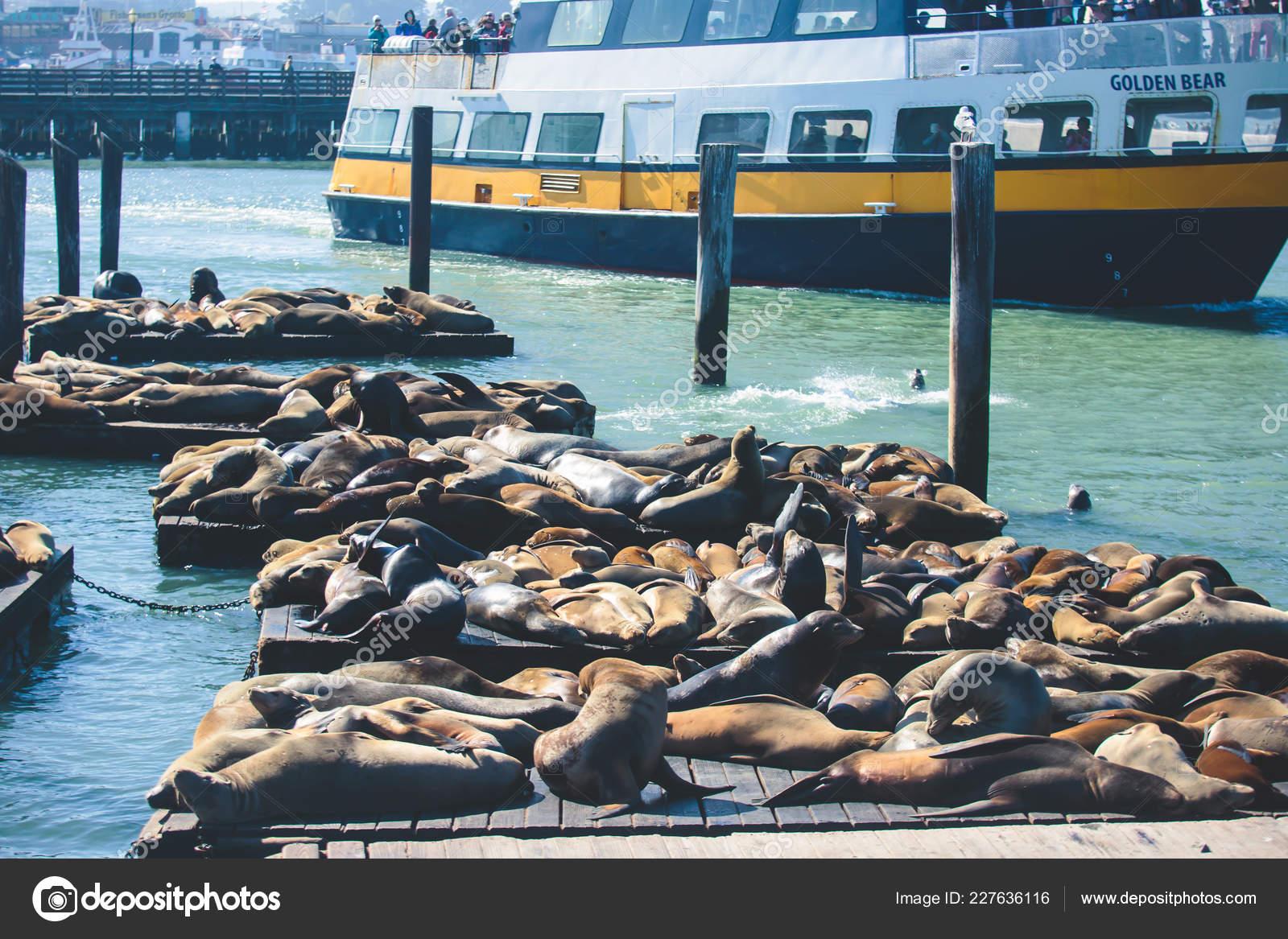 View Pier Seals Sea Lions Wooden Platforms Fisherman Wharf San Stock Photo C Tsuguliev 227636116