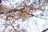 Třešňový květ japonského obrazu