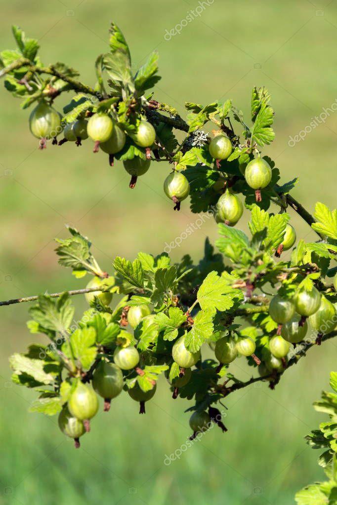 Green gooseberry fruit bush Ribes uva-crispa in garden on sunny day, copy space