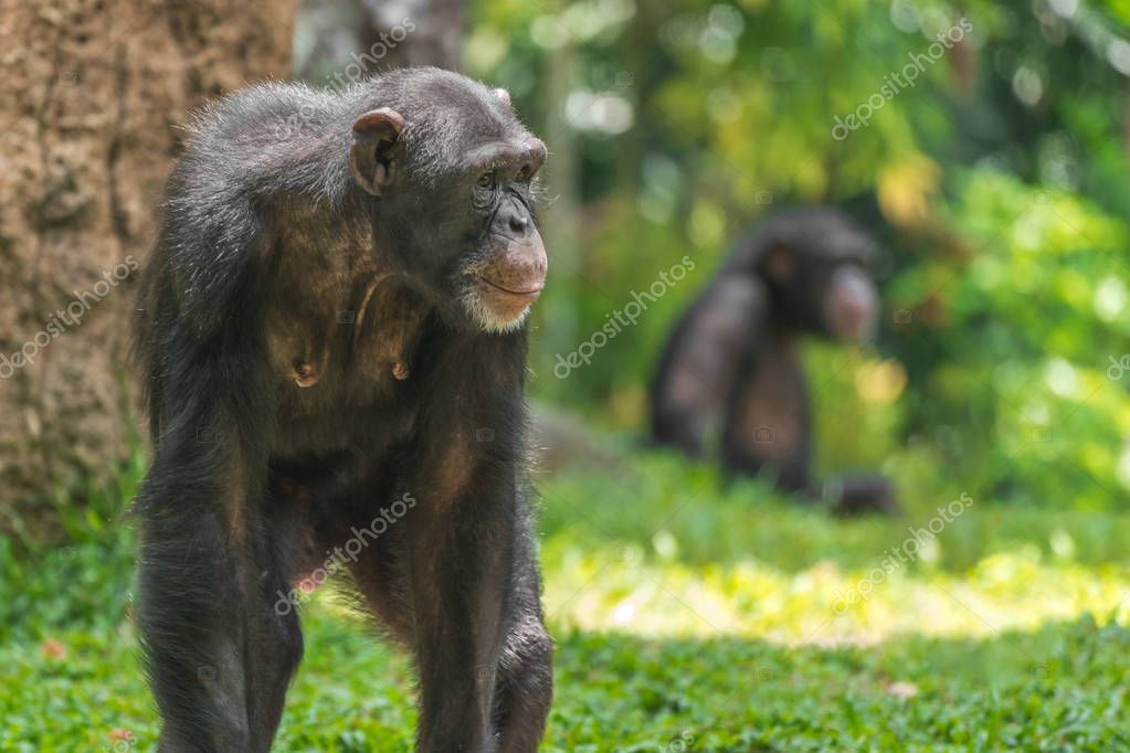 Chimpanzee monkey in the forest