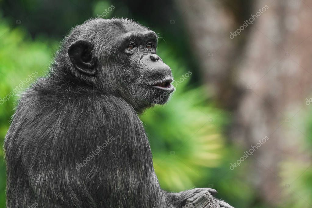Chimpanzee monkey talking, portrait, close-up