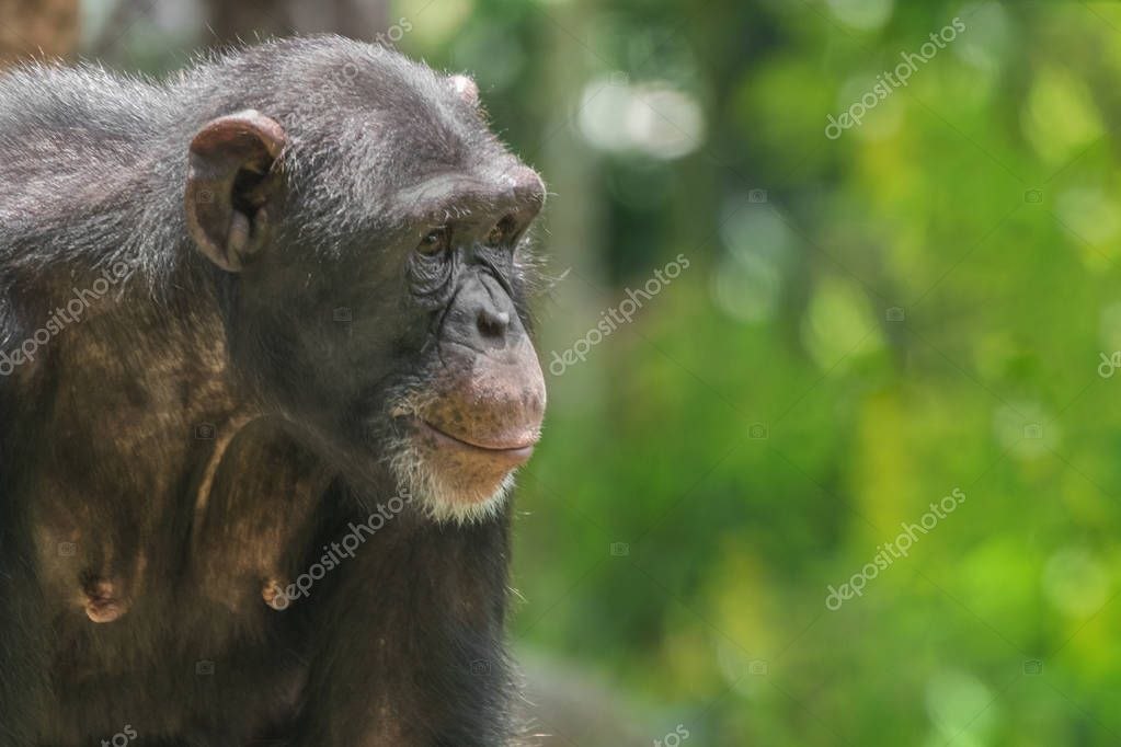 Chimpanzee monkey portrait, close-up
