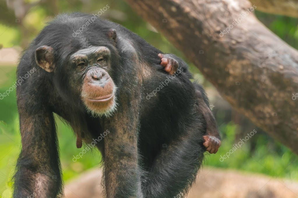 A female chimpanzee with a baby on her back