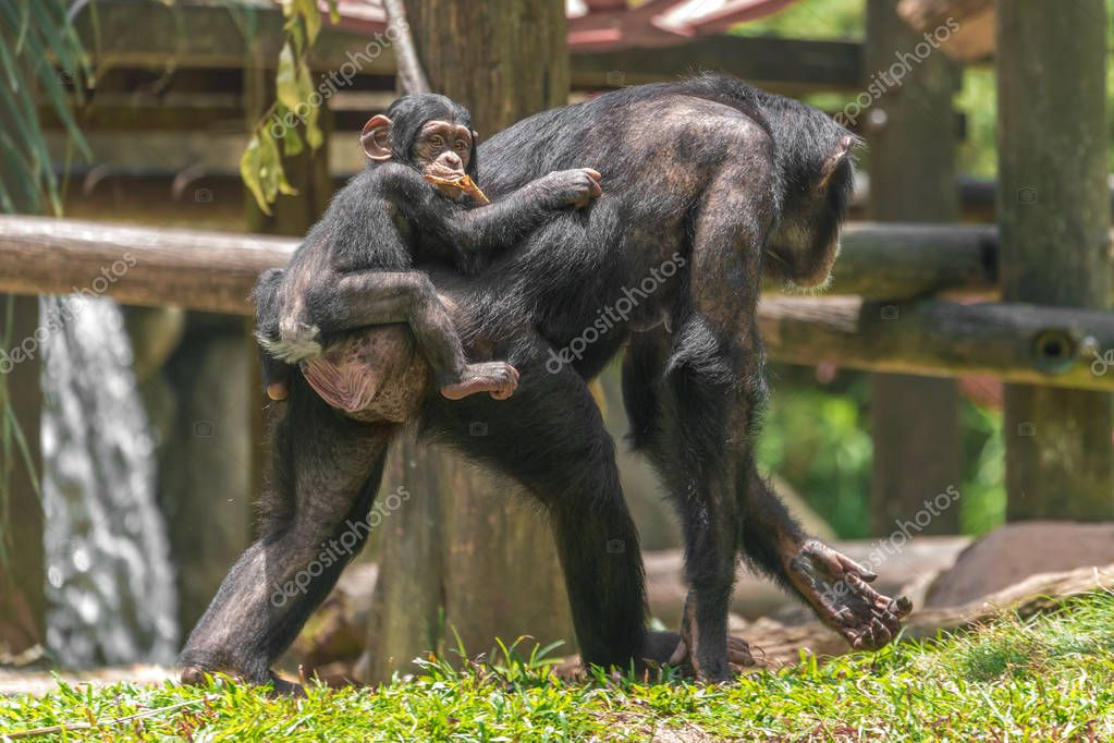 female chimpanzee carries a baby on her back