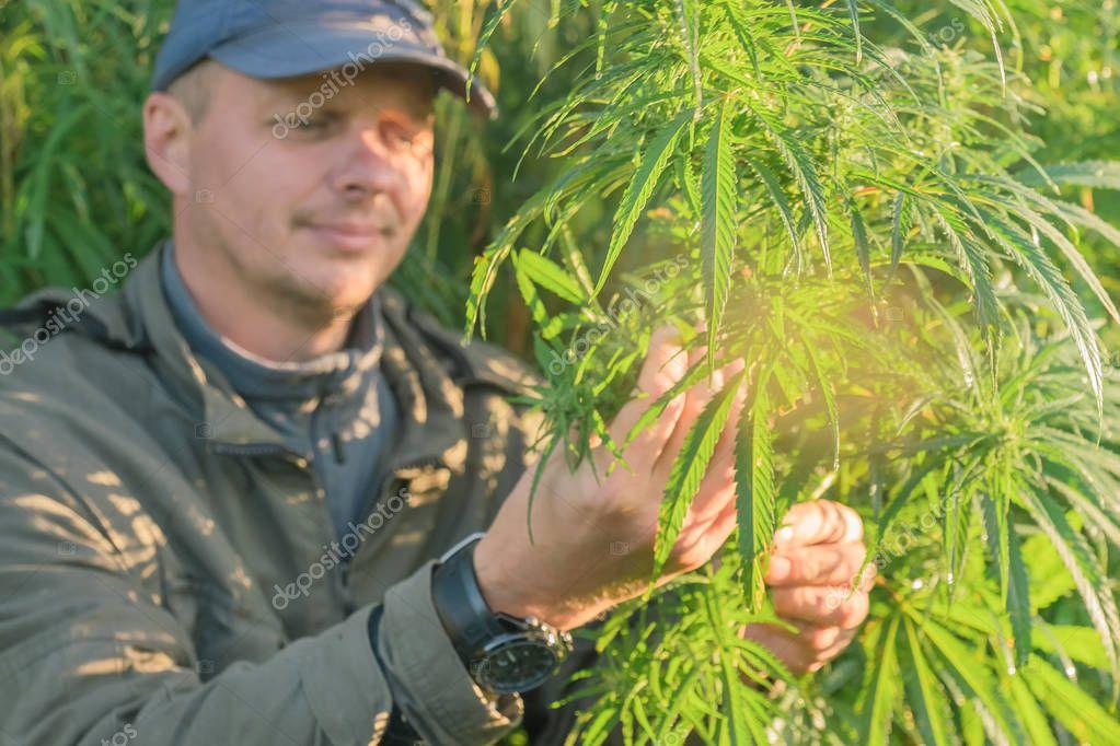 Adult man in a cap touches cannabis leaf on a cannabis plantation