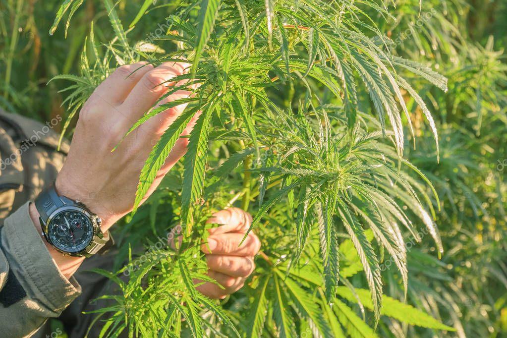 Men's Hand touches cannabis leaf