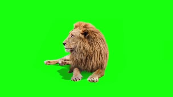 Skutečný lev sedí na zelené obrazovce