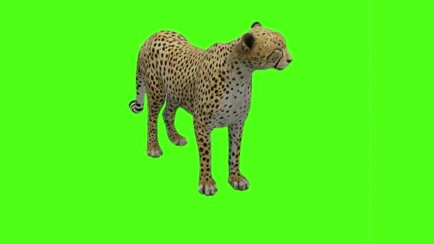 Gepard sedí na zelené obrazovce
