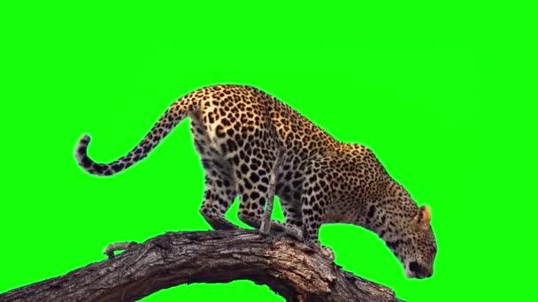 Leopard sedí na zelené obrazovce