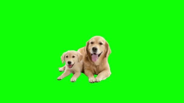 Golden Labrador retriever kutyák zöld képernyőn