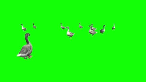 Enten auf grünem Bildschirm