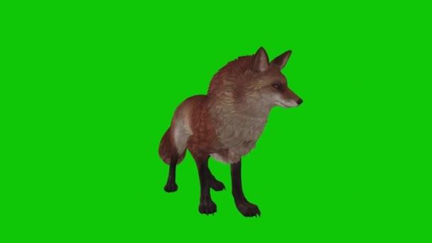 Fox Looking on Green Screen