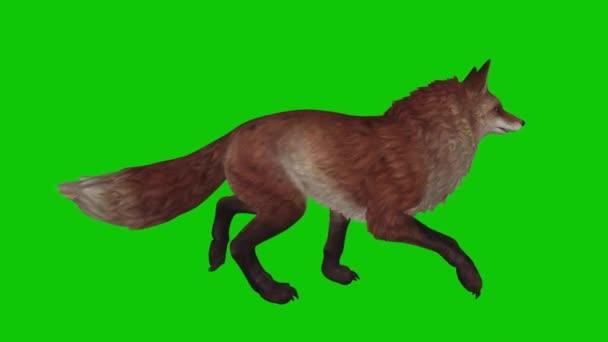 Fox Walking on Green Screen