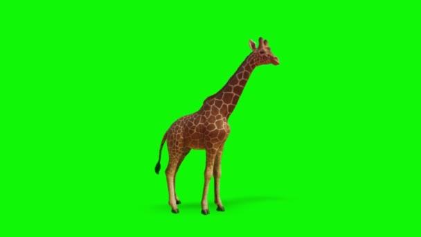 Zsiráf Keresi a zöld képernyőn