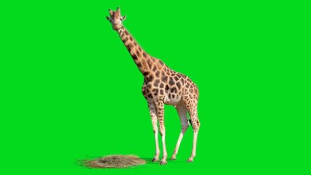 Žirafa hledající na zelené obrazovce