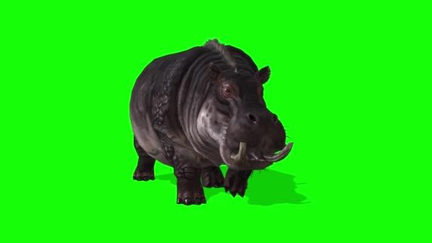 Nilpferd läuft auf grünem Bildschirm