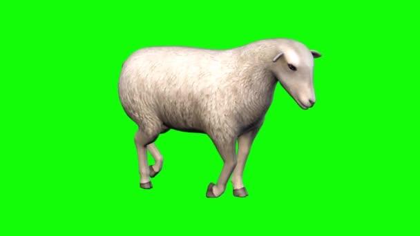 Ovce kráčející po zelené obrazovce
