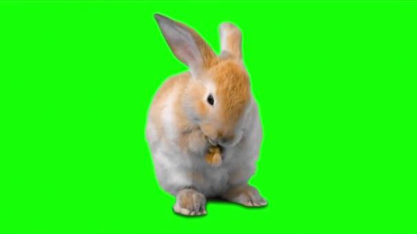 Kaninchenessen auf grünem Bildschirm