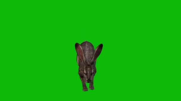 Rabbit Jumping on Green Screen