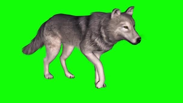 Wolf Walking on Green Screen