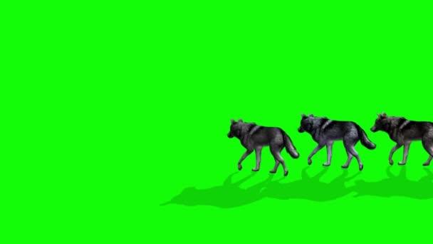 Vlci kráčející po zelené obrazovce