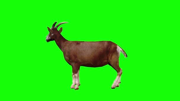 Koza hledající na zelené obrazovce