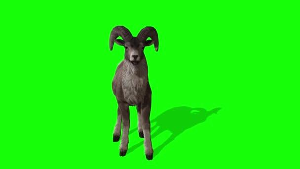 Goat Walking on Green Screen