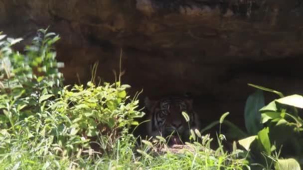 Tigre in lontananza nello zoo
