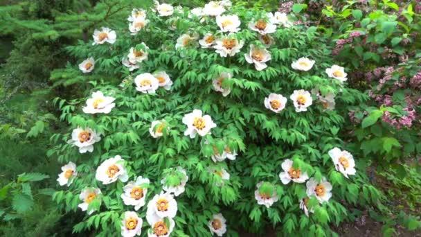 Kvetoucí strom jako pivoňka. Krásný jarní květy pivoňky stromu. Zpomalené střílení 120 FPS