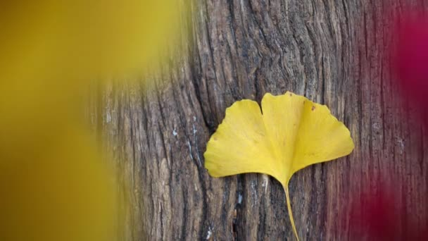 Composition of ginkgo biloba leaves on the table. Ginkgo biloba leaves on a texture board.