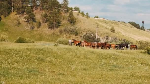 herd of horses graze in a green meadow. Brown horses eat green grass.