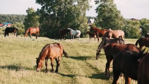 stádo koní se pasou na zelené louce. Hnědí koně jedí zelenou trávu.