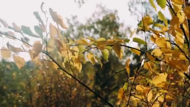 Autumn leaves sway in the wind sunny beautiful day