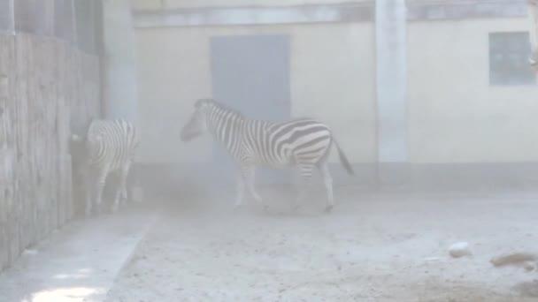 zebry běžící v období sucha v prachu