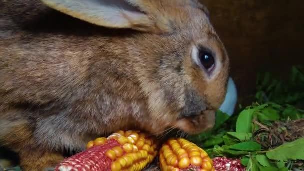 The brown rabbit eat corn, closeup