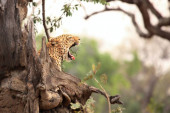 The African leopard (Panthera pardus pardus) male lying under the tree in evening sun. Zambia, South Luangwa.