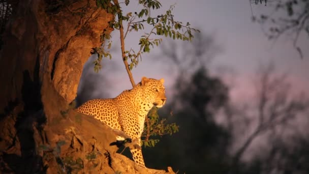 The huge African leopard (PAnthera pardus) male calmly lying under the big dry tree. Green background, evening sun. Zambia, South Luangwa.