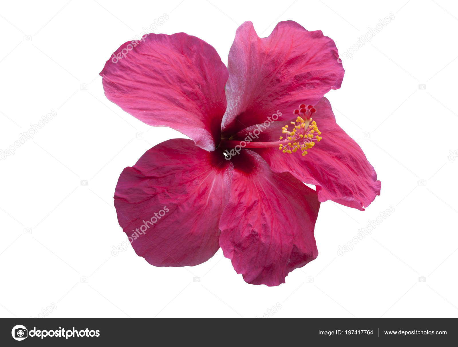 Pink hibiscus flower isolated white objects clipping paths stock usage information photo pink hibiscus flower izmirmasajfo