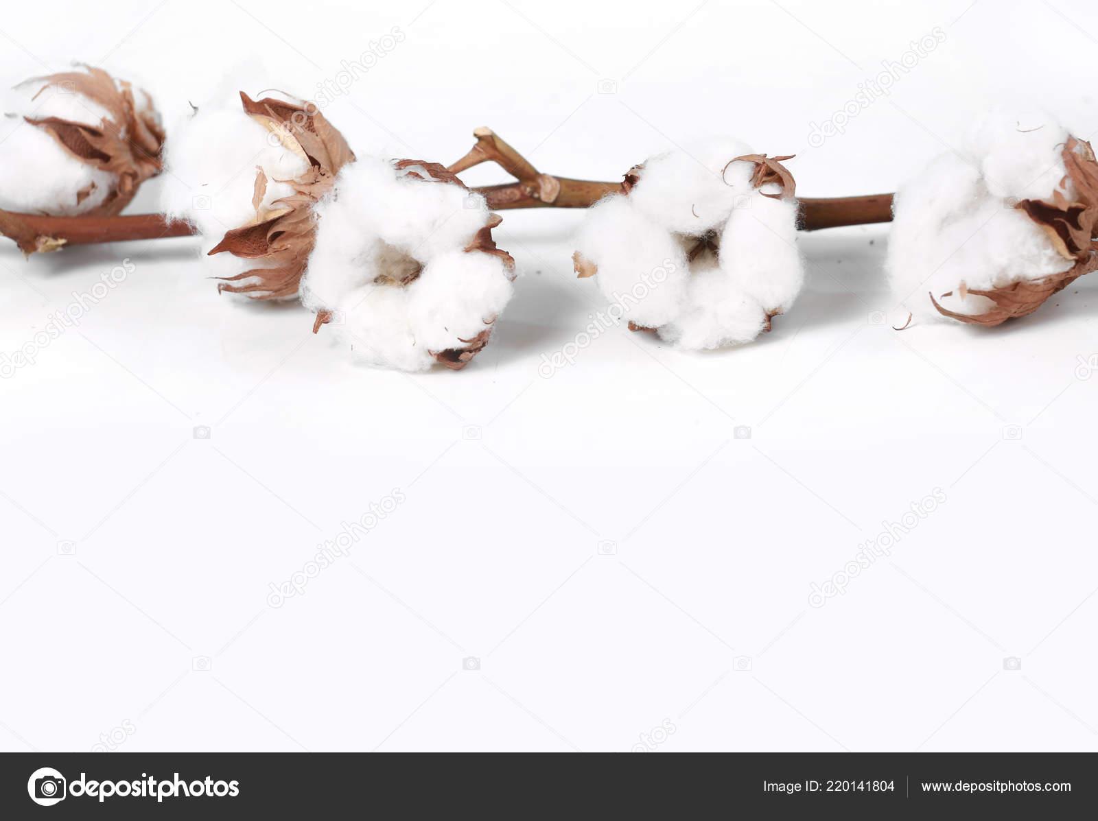 Branche Fleur De Coton cotton flowers branch white empty space blue background