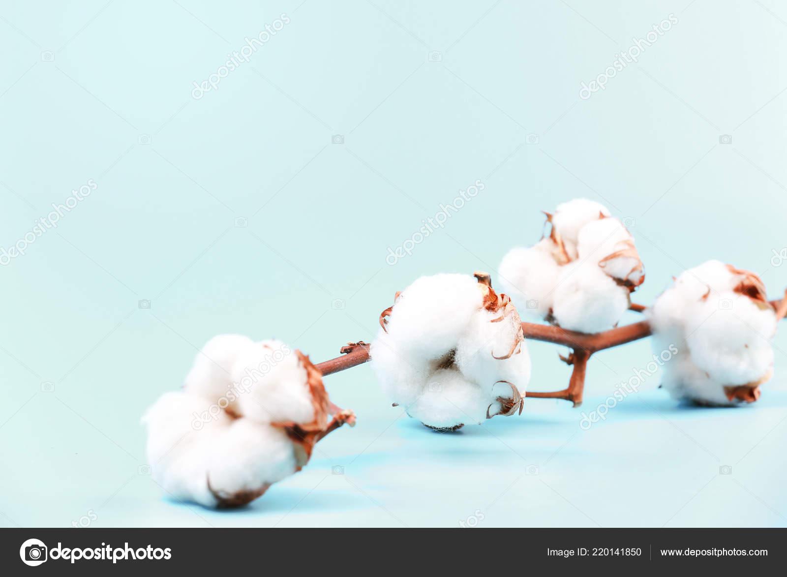 Branche Fleur De Coton cotton flower branch empty space blue background — stock