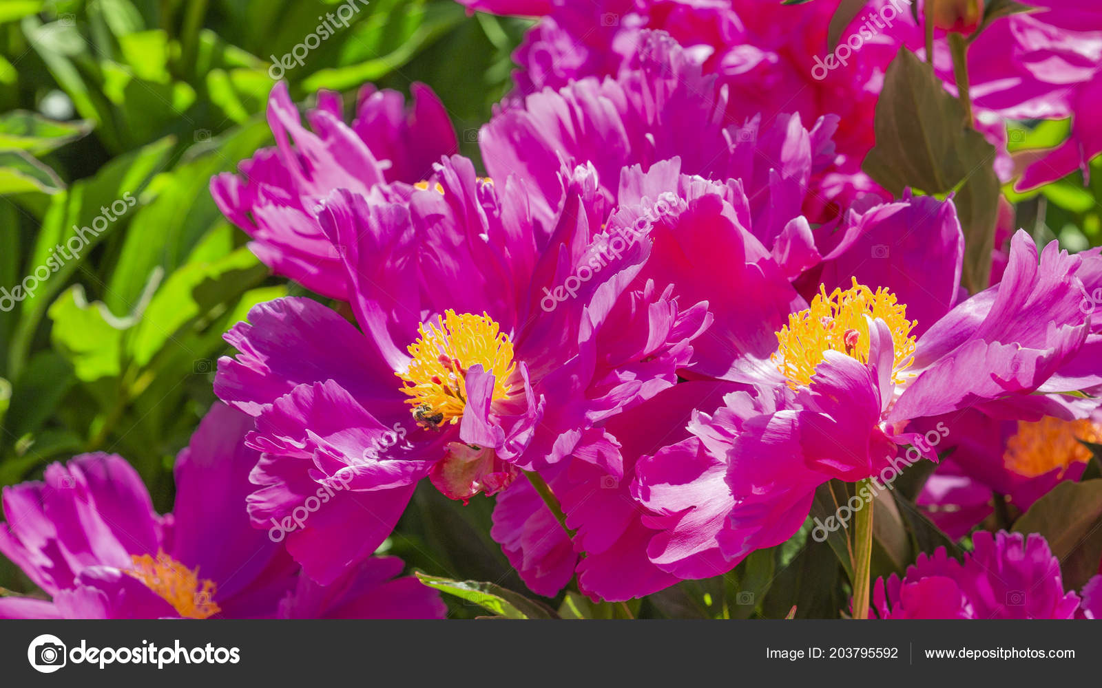 Beautiful Delicate Fragile Bright Purple Pink Flowers Japanese