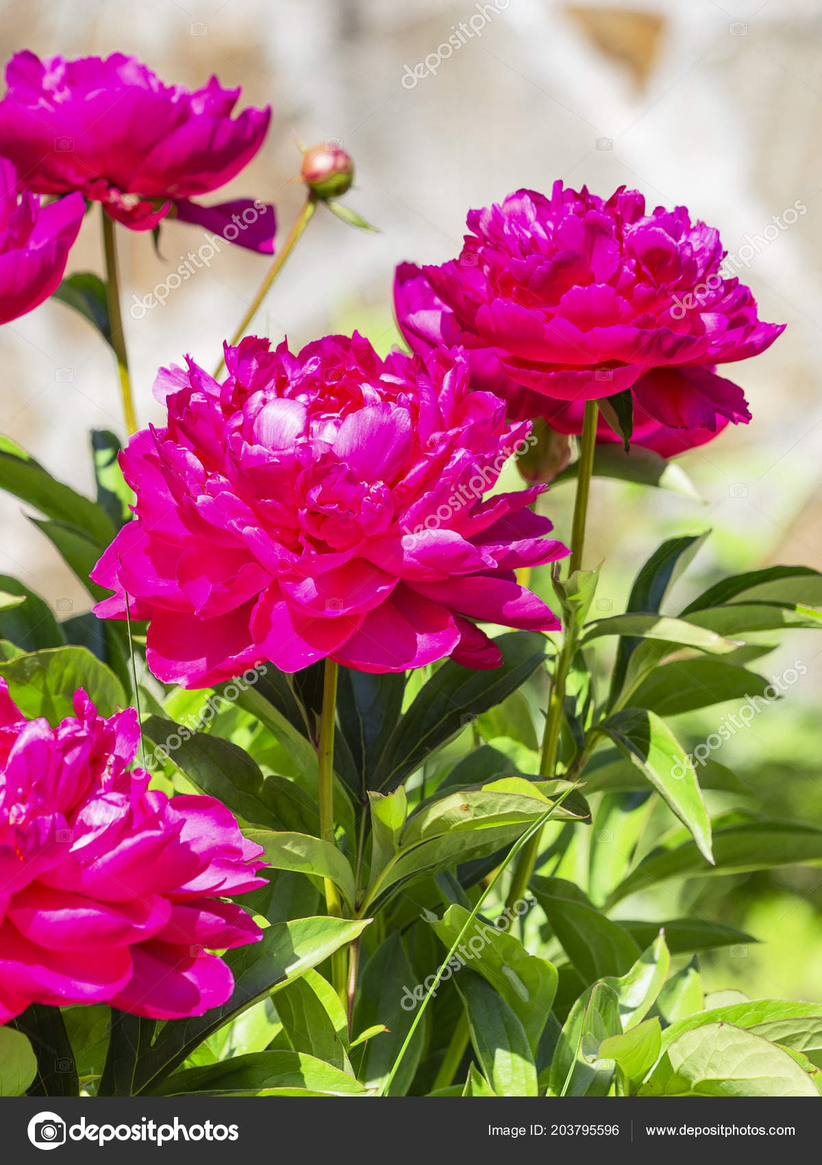 Beautiful Tender Fragile Bright Crimson Pink Flowers Terrypions