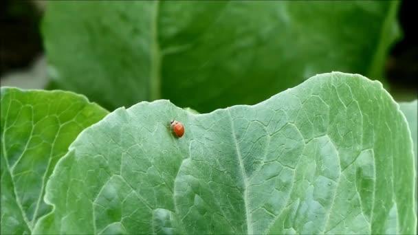 Jedna rušný červený beruška chůzi rychle na zeleném listě zeleniny v ekologické farmě, venkov Thajsko