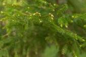 Malá zelená borovice s mladými výhonky. Selektivní zaměření, rozmazané pozadí